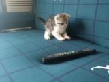 美短虎斑貓,加白,折耳,小妹妹