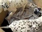 斑点犬纯种家养繁殖斑点犬出售精品精品家养活体宠物狗