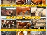 2018年肉牛犊价格 西门塔尔肉牛犊价格低价出售优质肉牛犊