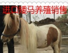迷你矮马饲养技术
