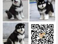 重庆犬舍出售纯种阿拉斯加犬 自产自销 签协议 面对面交易
