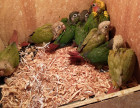常年出售个种观赏鸟