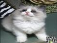 最棒的布偶猫在这 他们都选这家 精品虎斑 有口皆碑