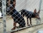 江门莱州红犬多少钱一只,出售纯种莱州红犬