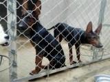 丽水莱州红犬价格,出售纯种莱州红犬