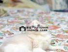 长春哪里有卖布偶猫的 长春什么地方有出售布偶猫 纯种布偶价格