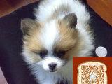 蝴蝶犬成年照片 蝴蝶犬成年有多大 蝴蝶犬多少钱