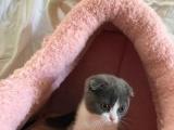 【千之宠猫舍】英短蓝白蓝猫