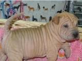 出售纯种沙皮幼犬健康有保障疫苗做齐售后签协议质保