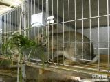 優質雜交野兔純種野兔野兔養殖技術