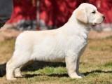 佛山哪里买拉布拉多犬 高品质拉布拉多导盲犬 神犬小七