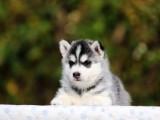 哈士奇幼犬 健康保证 信誉保证 诚信保证