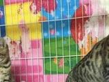 孟加拉豹猫幼猫 纯种豹猫出售 豹猫母猫咪 小豹猫崽