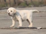 天津出售纯种拉布拉多幼犬 精品拉布拉多幼犬出售 黄色拉布拉多