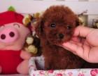 纯种贵宾犬 专业繁殖高端宠物 纯种贵宾幼犬待售