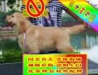 常年出售純種健康精品金毛犬專業締造完美品質簽協議