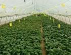 培育红薯苗基地价格红薯苗批发