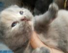 家养英短猫咪出售