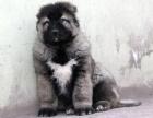 如此畅销 难以低调 高加索幼犬不忽悠的品质