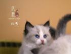 【风雅猫王国】海豹双色布偶猫弟弟-东邪西毒南帝北丐