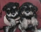 雪纳瑞犬 常年销售 包细小犬瘟冠状 包防疫包纯种