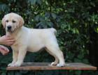哪里有卖拉布拉多拉布拉多图片拉布拉多幼犬