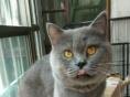 配猫五百价格以标题为准!!大包子脸蓝猫种公对外借配,出