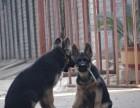 本地出售纯种警用德国牧羊犬 黑背 看家护院首选
