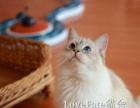**布偶猫幼猫小崽 完美背正开脸双蓝色