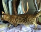 出售孟加拉豹猫母