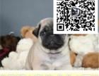 哪里出售巴哥犬 纯种巴哥加多少钱