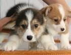 可爱柯基犬 保纯种 三针疫苗齐全 健康血统有保障