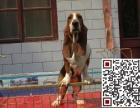 哪里有卖巴吉度?巴吉度猎犬多少钱?