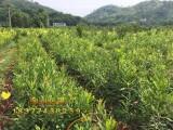 广西藤县盛林农业供应2年澳洲坚果树苗 嫁接坚果树苗