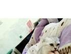 渐层母猫4月大