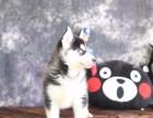 出售赛级纯种哈士奇犬健康品质终身质保