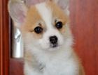 西安哪里有柯基出售双血统柯基犬处说小短腿柯基犬出售柯基犬