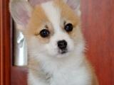 太原哪里可以买到纯种柯基幼犬 柯基多少钱一只 两色柯基
