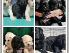 全年 一至今最畅销 拉布拉多幼犬 好品质 有保障
