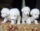 石家庄哪有古代牧羊犬卖 古代牧羊犬价格 古代牧羊犬多少钱