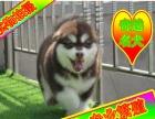 阿拉斯加犬待售中——京津冀送狗上门——种公对外借配