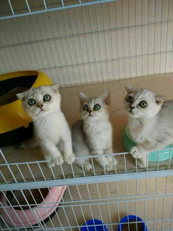 出售渐层幼猫 弟弟妹妹都有 身体非常健康 价格实在喜欢电联