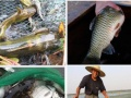 父母亲自养殖的正宗阳澄湖大闸蟹8只以上免费送货