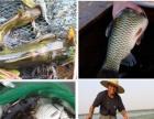 父母亲自养殖的正宗阳澄湖大闸蟹8只以上免费送货上门