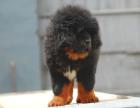 藏獒幼犬 自家狗场繁殖价格实惠 可直接视频挑选