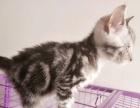 美短3月小母带3层猫别墅笼700元出售