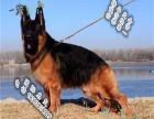 品质好一点的德国牧羊犬多少钱 要纯种品相好的