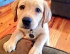 广州哪里有卖拉布拉多犬 实体狗场包健康纯种可视频或现场挑选