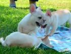 厦门哪里有法斗犬出售 纯种健康的法斗犬哪里有多少钱