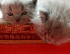 出售**英短蓝猫幼崽